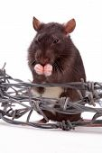 Rats animal very clever and artful rodents poster