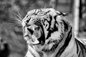 A monochrome Tiger, Panthera tigris, the largest feline species poster