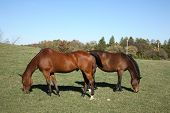 Two horses grazing in a pasture on a sunny day. poster