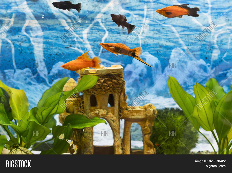 Black Gold Fish Image Photo Free Trial Bigstock