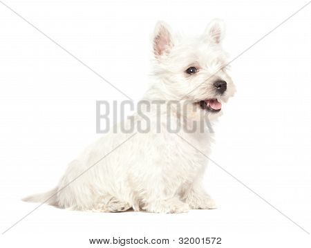 West Highland White Terrier puppy isolated over white background poster