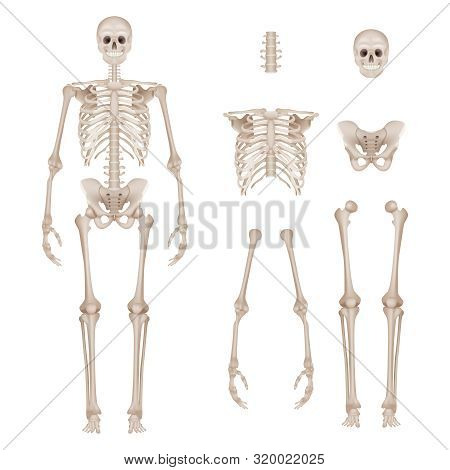 Human Skeleton. Body Parts Skull Bones Hands Foot Spine Anatomy Detailed Realistic Vector Illustrati