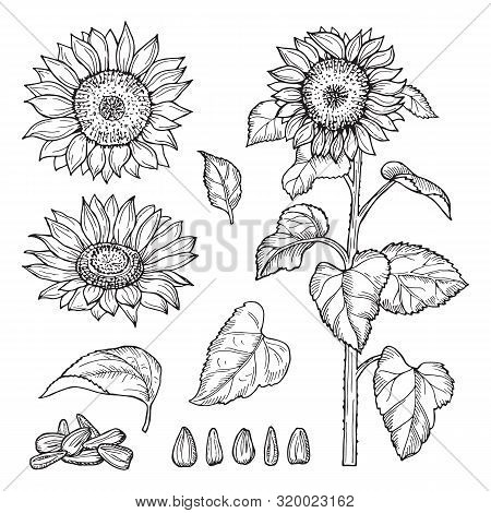 Sunflower Sketch. Vector Seeds, Blooming Flowers Collection. Illustration Sunflower Sketch And Drawi