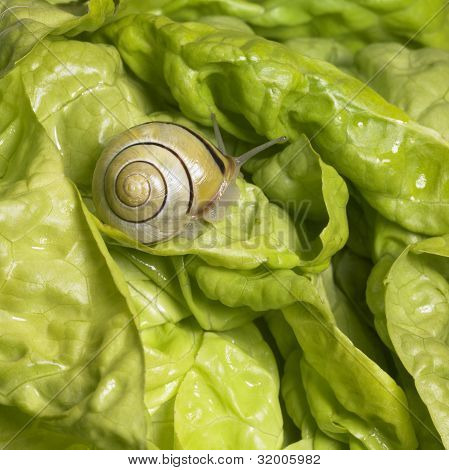 studio photography of a Grove snail in fresh green lettuce poster