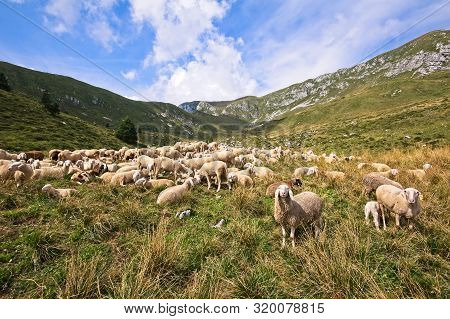 Small Herd Of Cows Grazing On A Mountain Pasture.alps Italy.