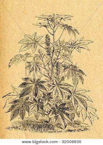 Ricinolja växt