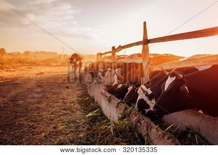 Cows Grazing On Farm Yard At Sunset. Cattle Eating And Walking Outdoors.