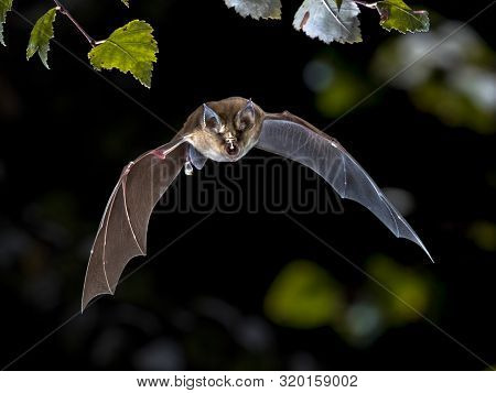 Flying Bat Hunting In Forest. The Greater Horseshoe Bat (rhinolophus Ferrumequinum) Occurs In Europe
