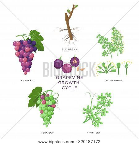 Grapevine Growth Infographic Elements Isolated On White, Flat Design Set. Planting Process Of Grape
