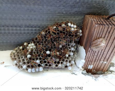 Nest Of Wasps Polystyles Under The Roof Of The House