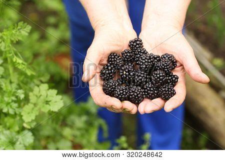 Handful Of Ripe Berries Bramble Close Up Photo On Green Garden Background