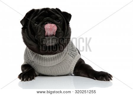 Clumsy pug licking his nose and looking forward while wearing a gray sweater and lying down on white studio background