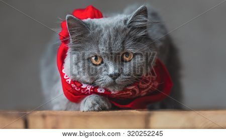 lying down on wood pretty British Longhair cat with gray fur and red bandana looking at the camera amazed on gray studio background poster