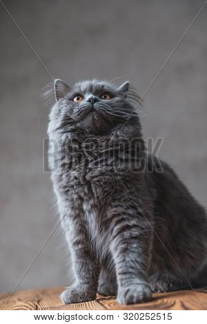 seated on wood fine British Longhair cat with gray fur looking up fascinated on gray studio background poster
