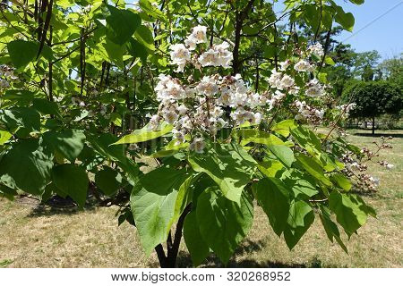 Shoots Of Catalpa Tree With Big White Flowers