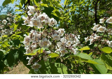 Side View Of Panicle Of White Flowers Of Catalpa Tree