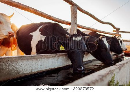 Cows Drinking Water On Farm Yard At Sunset. Cattle Walking Outdoors In Countryside.