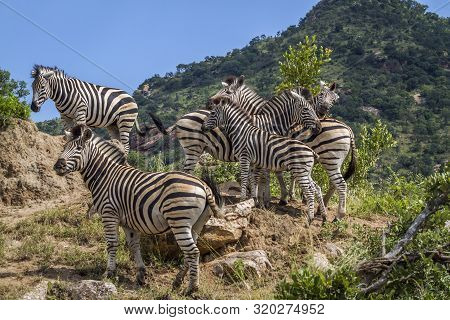 Small Group Of Plains Zebras Standing On Rocks In Kruger National Park, South Africa ; Specie Equus