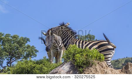 Two Plains Zebras Bonding In Kruger National Park, South Africa ; Specie Equus Quagga Burchellii Fam