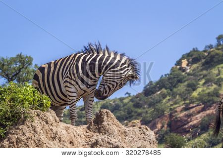 Plains Zebra Standing On A Rock Isolated In Blue Sky In Kruger National Park, South Africa ; Specie