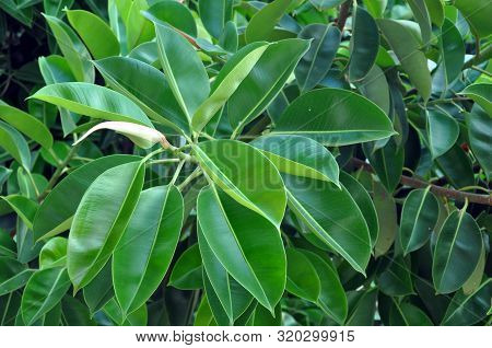 Rubber Fig's Big Smooth Green Leaf Ficus Benjamina