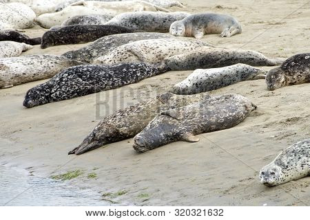Many Harbor Seals Hauled Out On Sandy Beach In Northern California.  When Not Actively Feeding, They