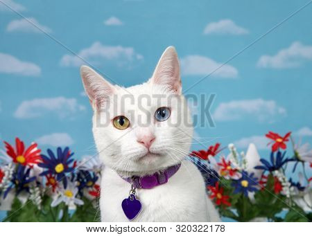 Portrait Of A White Cat With Heterochromia Looking Directly At Viewer, Wearing A Purple Collar With