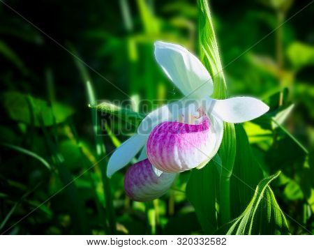 Showy Lady's-slipper, Cypripedium Reginae, Minnesota State Flower.