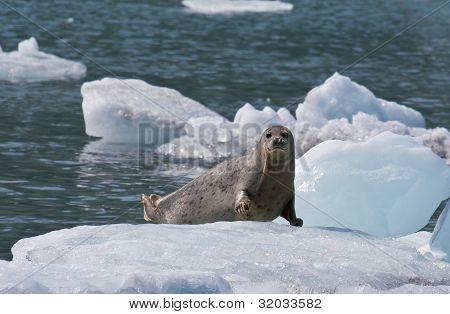 Harbor Seal On Ice Flow
