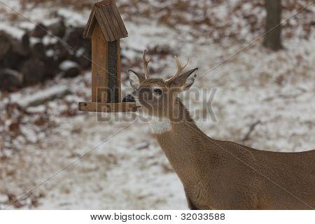 Male Deer At Birdfeeder