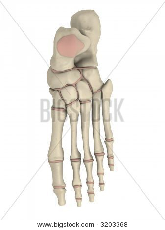 Skeletal Foot