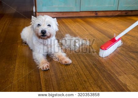 Dog Moulting And Shedding Hair: Broom Sweeping Fur From West Highland White Terrier Indoors, With Co