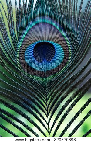 Tip section of Peacock feather. Feather eyespots of an blue peafowl (Pavo cristatus)or an Indian peafowl. The fluorescent colors are created by crystal-like structural color.