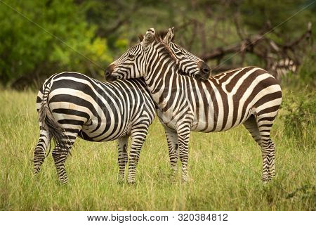 Two Plains Zebra Lean On Each Other