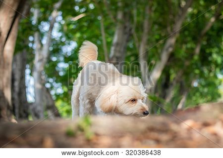 Puppy Poodle Dog Walking On Park, Cute White Poodle Dog On Green Park Background, Background Nature,