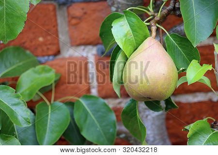 Dessert Pear, Pyrus Communis, Of The Variety Doyenne Du Comice Hanging On A Tree With Leaves And A R