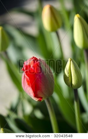 Red Tulip In The Field Of Yellow Tulips