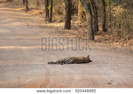 Wild Female Tiger From Bandhavgarh Resting On Cool Sand Of A Middle Of Jungle Track At Bandhavgarh T