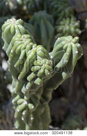 Cane Cholla Cactus Close Up