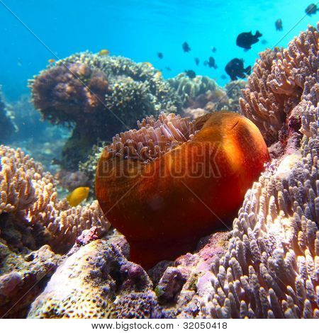 Underwater shoot of vivid coral reef with an actinia on the foreground