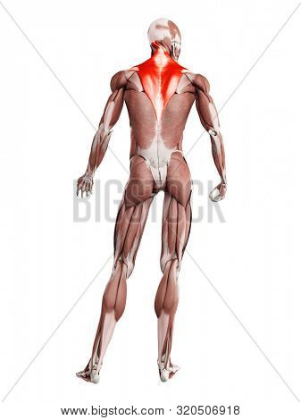 3d rendered muscle illustration of the trapezius