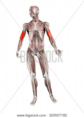 3d rendered muscle illustration of the brachialis