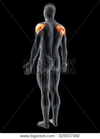 3d rendered muscle illustration of the deltoid