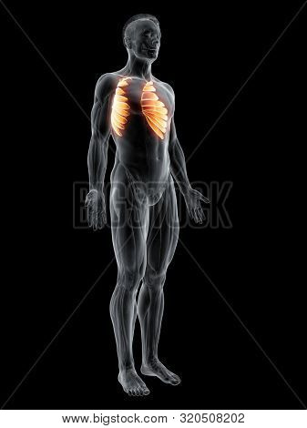3d rendered muscle illustration of the serratus anterior