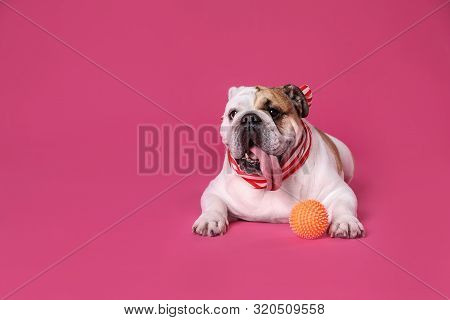 Adorable English Bulldog With Ball On Pink Background, Space For Text