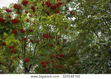 Russia. Nature Of The Far East: Rowan (sorbus Aucuparia)