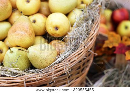 Ripe Pears And Apples On Straw In A Wicker Baskets Decorated With Autumn Leaves. Harvest Holiday, Fe