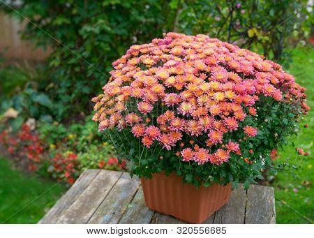 Pot of vibrant chrysanthemum flowers in a back yard garden.