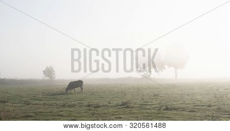 Cow And Morning Mist With Trees In The Background Of Coutryside In German East Frisia