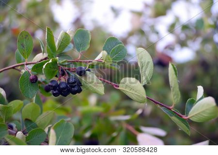 Black Chokeberry Branch With Ripe Dew-covered Berries